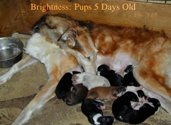 Borzoi Brightness with 5 day old pups